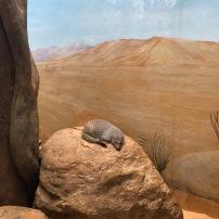 mangouste qui dort